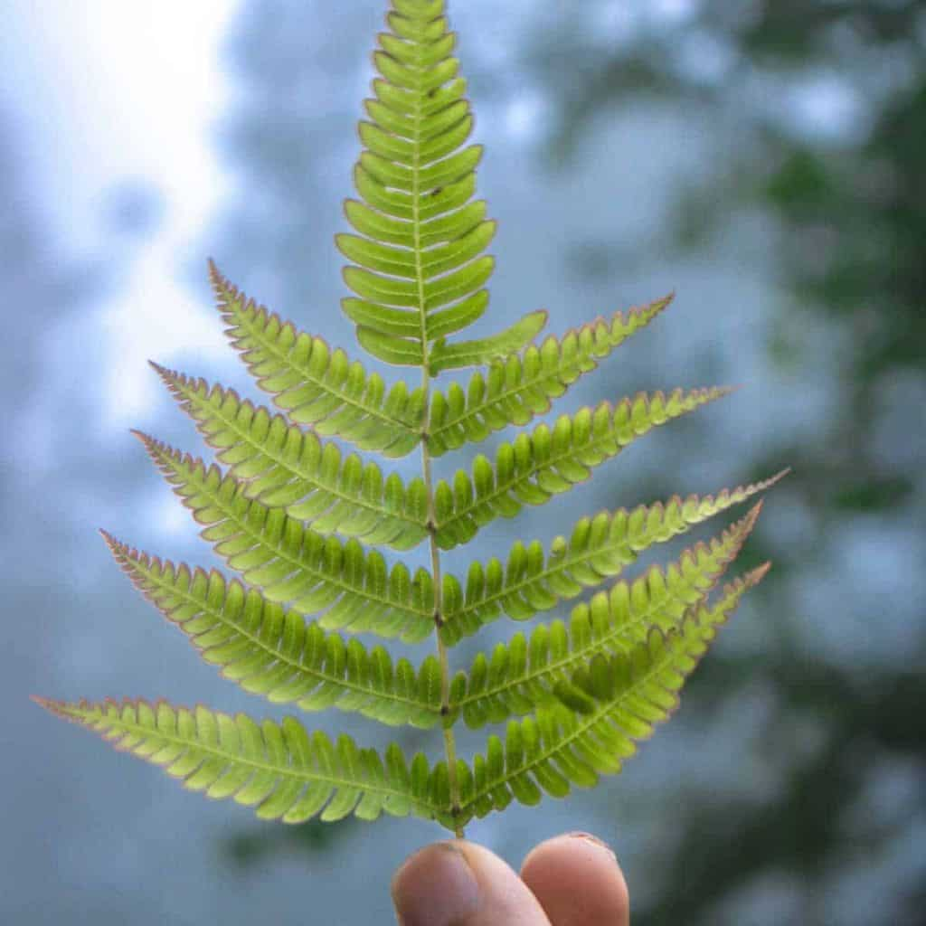 holding a fern leaf up to the forest light
